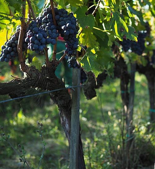 Weinbau in der Bibel, Disteln und Dornen im Weinberg