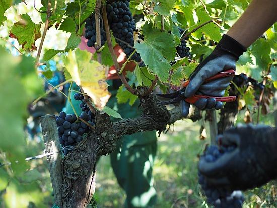Weingut-Italienisch Handlese