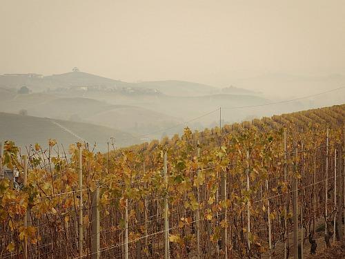 Weinbücher Reben Piemont Herbst
