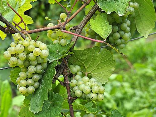 Weinstatistik Riesling Trauben