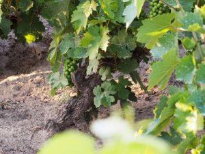 Naturwein in gut sandig Boden Batschka